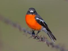 Flame Robin (Image ID 35016)
