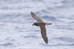 Tahiti Petrel (Image ID 34934)
