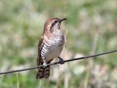 Horsfield's Bronze-Cuckoo (Image ID 34767)