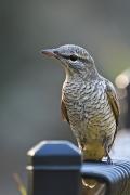 Cicadabird (Image ID 34720)