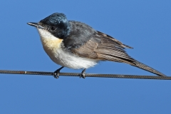 Restless Flycatcher (Image ID 34862)