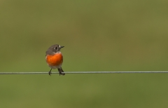 Scarlet Robin (Image ID 34705)