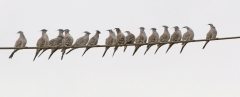 Crested Pigeon (Image ID 35047)