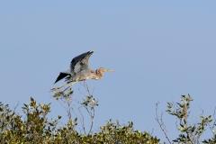 Purple Heron (Image ID 35015)