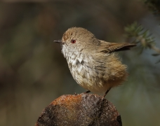 Brown Thornbill (Image ID 34943)
