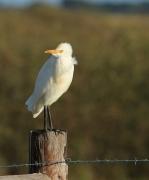 Cattle Egret (Image ID 34874)