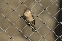 House Sparrow (Image ID 35247)
