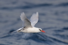 Red-tailed Tropicbird (Image ID 35224)