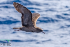 Wedge-tailed Shearwater (Image ID 35373)