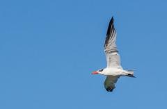 Caspian Tern (Image ID 35388)