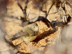 Slender-billed Thornbill (Image ID 35228)