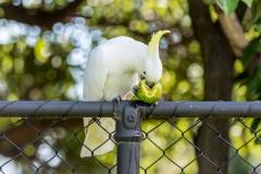 Sulphur-crested Cockatoo (Image ID 35361)