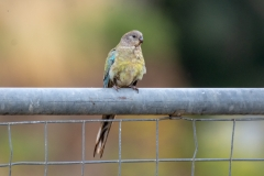 Red-rumped Parrot (Image ID 35367)