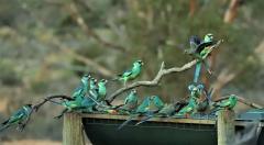 Australian Ringneck, Mulga Parrot (Image ID 35402)