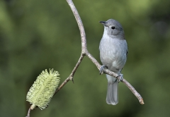 Grey Shrike-thrush (Image ID 35396)