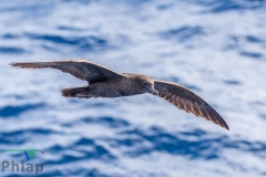 Wedge-tailed Shearwater (Image ID 35372)