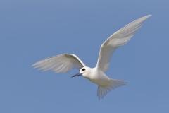 White Tern (Image ID 35225)