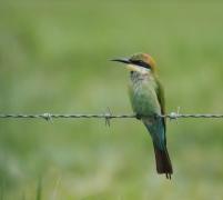 Rainbow Bee-eater (Image ID 35407)