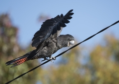 Red-tailed Black-Cockatoo (Image ID 35115)
