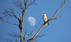 White-bellied Sea-Eagle (Image ID 35851)
