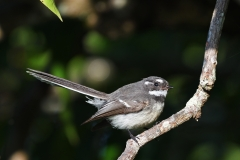 Grey Fantail (Image ID 35834)