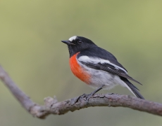 Scarlet Robin (Image ID 35847)