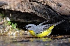 Eastern Yellow Robin (Image ID 35865)