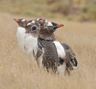 Gentoo Penguin (Image ID 35724)