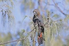 Glossy Black-Cockatoo (Image ID 35875)