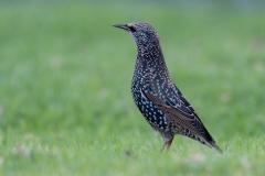 Common Starling (Image ID 35829)