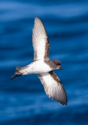 Grey-backed Storm-Petrel (Image ID 35904)