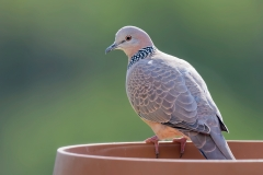 Spotted Dove (Image ID 35896)