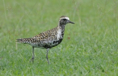 Pacific Golden Plover (Image ID 35900)