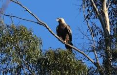 Wedge-tailed Eagle (Image ID 35852)