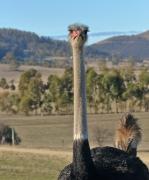 Ostrich (Image ID 36038)