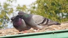 Rock Dove (Image ID 35966)