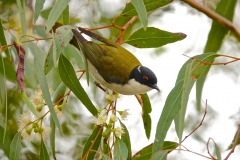 White-naped Honeyeater (Image ID 36066)