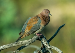 Laughing Dove (Image ID 36179)