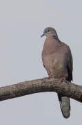 Spotted Dove (Image ID 36158)