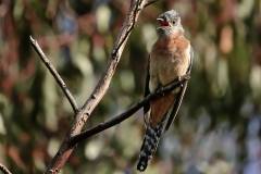 Fan-tailed Cuckoo (Image ID 36067)