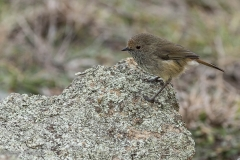 Brown Thornbill (Image ID 35940)