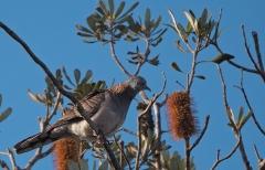 Bar-shouldered Dove (Image ID 36162)