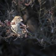 House Sparrow (Image ID 35931)