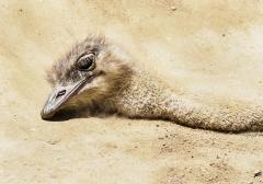 Ostrich (Image ID 35917)