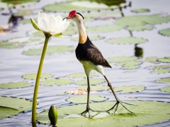 Comb-crested Jacana (Image ID 35951)
