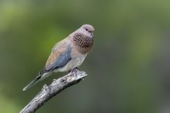 Laughing Dove (Image ID 36156)