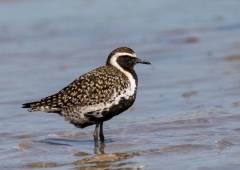 Pacific Golden Plover (Image ID 36022)