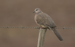 Spotted Dove (Image ID 35925)