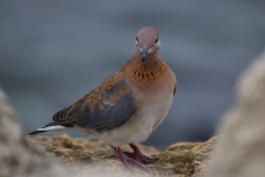 Laughing Dove (Image ID 35924)