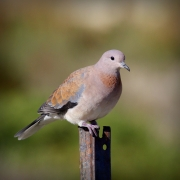 Laughing Dove (Image ID 35936)